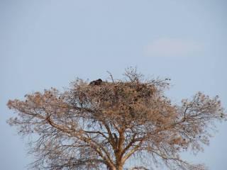 Гнездо орла