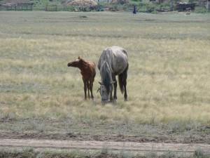 Лошади Оренбургская область
