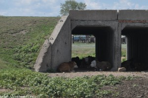Коровы в тени моста