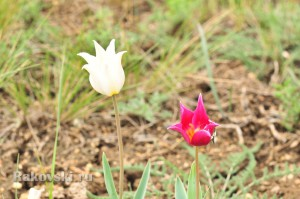 Степные тюльпаны